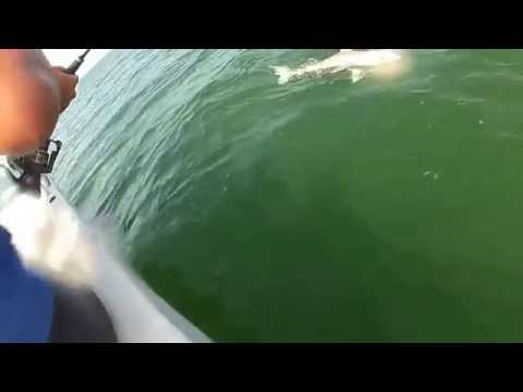 เหนือฟ้ายังมีฟ้า ปลาฉลามที่ว่าใหญ่แล้วก็ยังมีปลาที่ใหญ่กว่าอีก งับเดียวอยู่!!