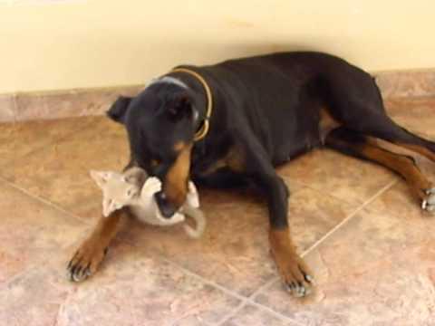 Doberman i mačka – smešni video snimci sa mačkama i psima