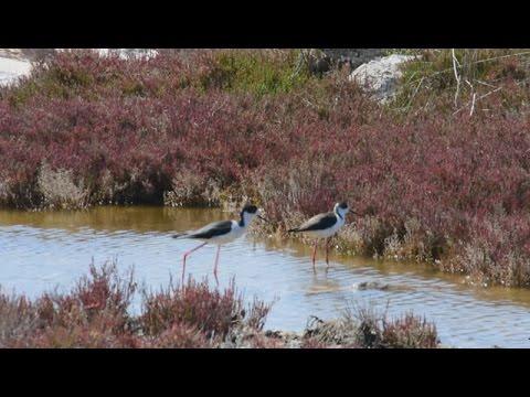 Αποδημητικά πουλιά Καλαμοκανάδες στον Υδροβιότοπο της παραλιακής Ναυπλίου