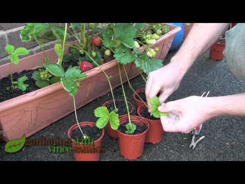planting - Planting Strawberry Runners is super easy, and you get lots of new strawberry plants from those runners. Propagating Strawberries is easier, more reliable an...