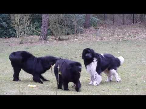 Newfoundland dogs: Grace takes Viggo for a walk