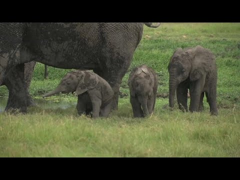 Kenia: Zwillingsnachwuchs im Elefantenreservat Ambose ...