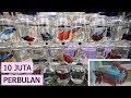 Budidaya Ikan Cupang Hias & Aduan Raup 10 JUTA PERBULAN [ PANDUAN LENGKAP ]