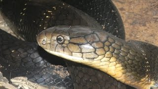 Shimoga India  city photo : King cobra rescue operation-Agumbe, Thirhahalli, Shimoga, Karnataka, India.