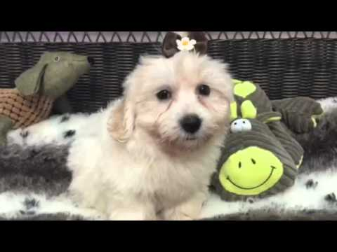 Cream puff, Havanese baby girl