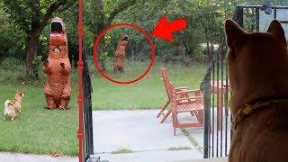 何だかよくわからないけど、とりあえず出ていけ侵入者!庭に現れたティラノと闘う柴犬