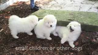 Dogs 101 - Pomeranian, Spitz, Samoyed