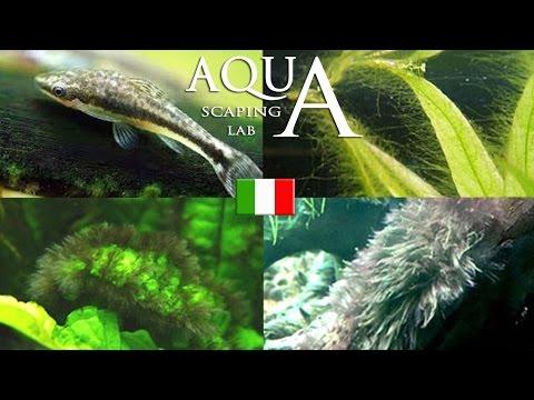 acquariofilia - come gestire le alghe in acquario.