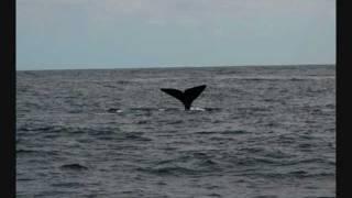 Navegar a vela con delfines en Azores con Mabrouksailing