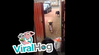 Dog helps carry shopping bags from the car