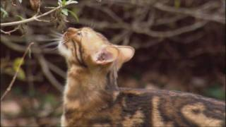 Lions and Domestic Cats - Painful Sex   Domestic Cats - Artificial Selection