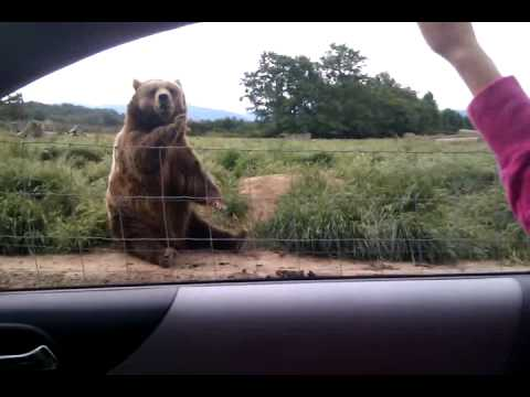 Bear Waves Hello