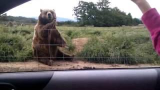 Махаща мечка