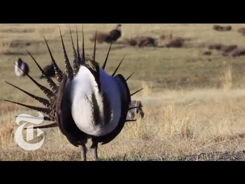 birds - A conservation effort across the West to protect the sage grouse, a bird with an unusual mating call, has put different environmental interests at odds. Produced by: Kassie Bracken and Ben...