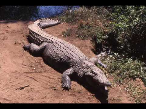 Interior Crocodile Alligator FULL SONG!!!!!