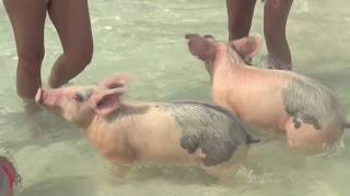 Cute Pigs Go Swimming