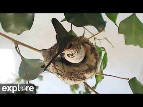 Live-Cam: Vögel - Rosie Kolibri / Rosie Hummingbird - Nest (Südkalifornien / USA)