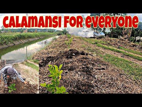 Nakapag tanim na ng Kalamansi for everybody+ Lechon delivery..