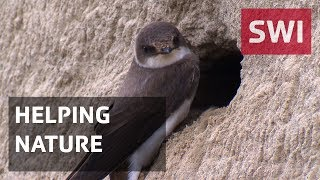 A gravel pit owner in canton Aargau has created a nesting place for sand martins, to try to boost the number of these endangered birds, and he's urging fellow pit owners to follow suite. (SRF/swissinfo.ch) ---swissinfo.ch is the international branch of the Swiss Broadcasting Corporation (SBC). Its role is to report on Switzerland and to provide a Swiss perspective on international events.For more articles, interviews and videos visit swissinfo.ch or subscribe to our YouTube channel:  Website: http://www.swissinfo.chChannel: http://www.youtube.com/swissinfovideosSubscribe: http://www.youtube.com/subscription_center?add_user=swissinfovideos