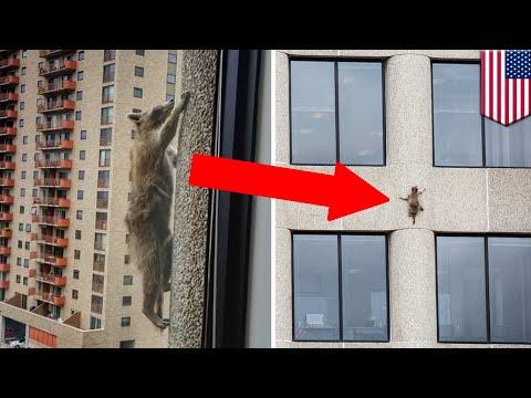 Raccoon climbs 23 stories up skyscraper in Minnesota - TomoNews