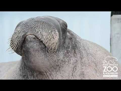 Walrus Practices Vocalizations