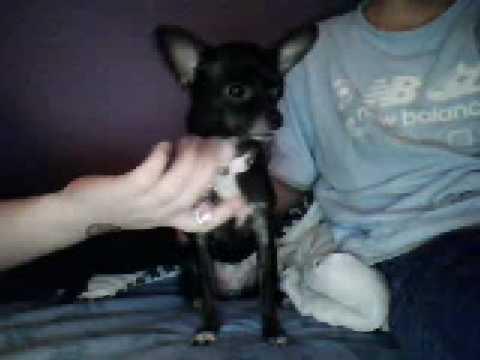 Cute Black Miniature Chihuahua (Lucy)