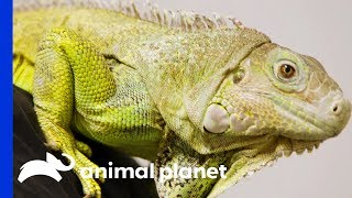 Dr.Ross Finds Abscess On Iggy The Iguana's Tail | The Vet Life by Animal Planet