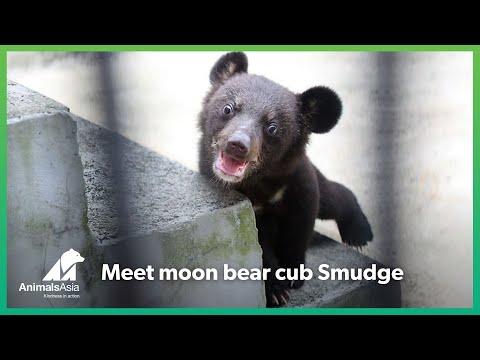 cina-smudge-il-cucciolo-di-orso-della-luna-salvato-dalla-fattoria-della-bile