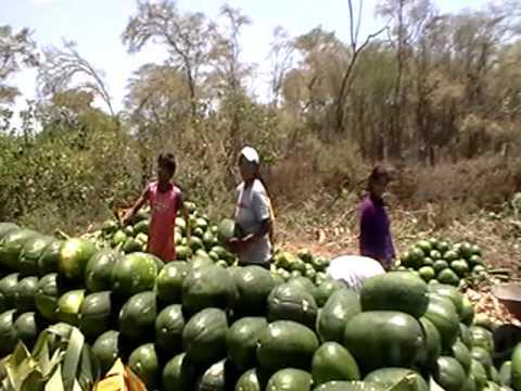siembra de sandia - En este video podrán apreciar el trabajo colectivo que se realiza para la cosecha de sandía. Aparecen en el video amigos y familiares que viven en la ciudad ...