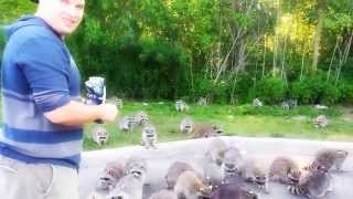 100 Raccoons And One Bag Of Doritos