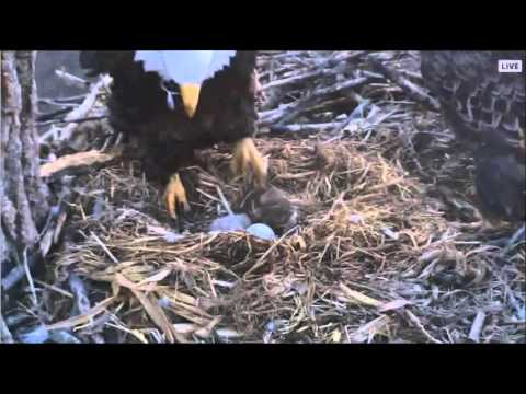DECORAH EAGLES  3/29/2016   6:54 AM  CDT   DAD COMES AND MOM LEAVES (видео)