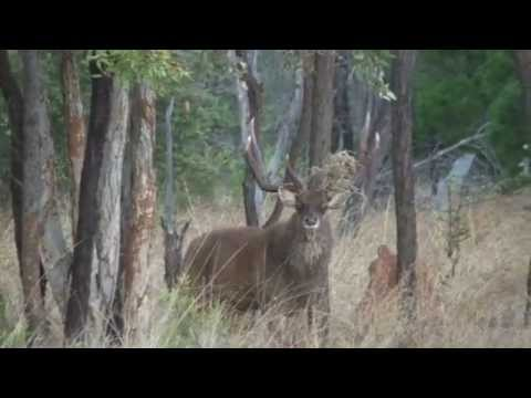 Rusa Stags Of North Queensland Part 2