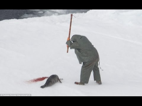 Shocking photos of baby seals being clubbed to death in Canada as bloody cull of nearly 500,000 gets