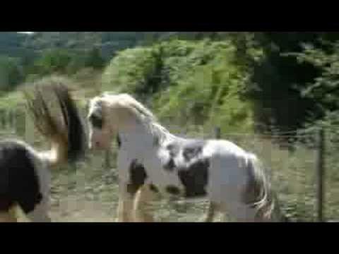 Irish Cob Saille Naturelle Cillbarra Tom