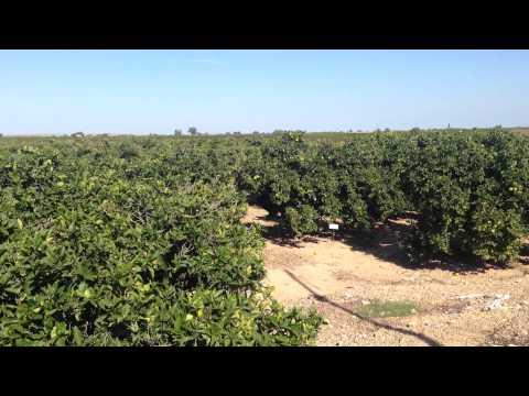 Сбор апельсин в испании
