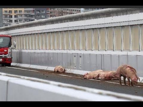 日本19隻豬集體跳車逃亡5小時,其中一隻發現死定後「乾脆直接在高速公路來一砲」!