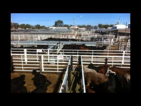 Feeder Cattle Review: Pressure seen on heavyweight feeders