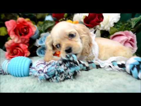 Cooper AKC Silver Buff Male Cocker Spaniel Puppy for sale