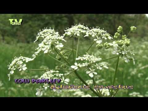 Cow Parsley - anthriscus sylvestrus - Fluitenkruid