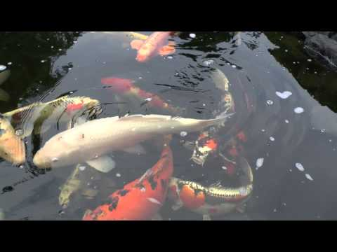 koi fish Koi Karpfen Big 8.12.2012 full HD HQ Panasonic X909