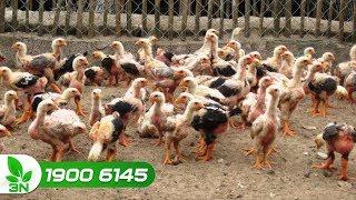 Chăn nuôi gà | Khắc phục gà bị bệnh Newcastle ghép đầu đen