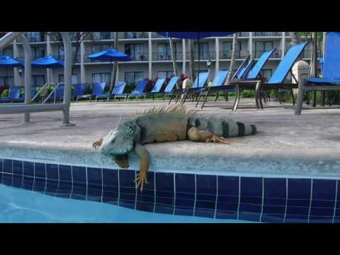 Beautiful Iguana jumps in the pool for a lil swim in Puerto Rico! Ms.FitVegan