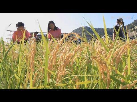 被災地へ向け、高校生が米収穫
