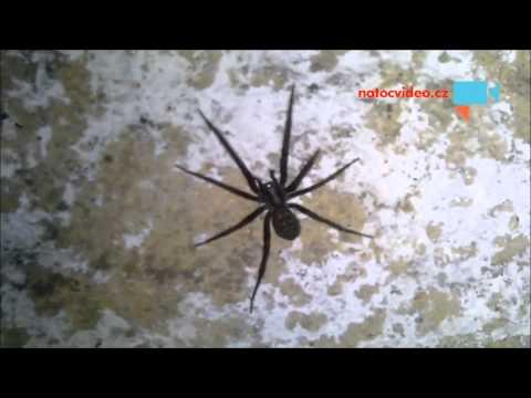 Obří Pavouk