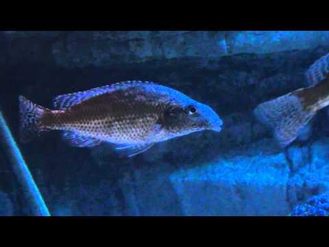 Nimbochromis Linni VF