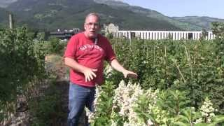 #747 Hydrangeasy - Die Vorteile der kompakten Hydrangea paniculata Sorten (Pinky Winky)
