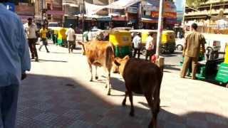 Kota India  city pictures gallery : Sapi Berkeliaran di Tengah Kota Banglore, India