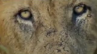 Man-eating lions - Ultimate Killers - BBC wildlife