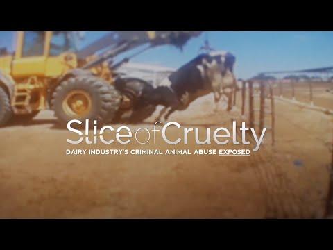 Nuova investigazione sotto copertura rivela le terribili crudeltà subite da mucche e vitelli