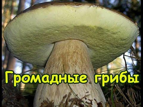 как найти белый гриб видео